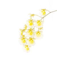 Dendrobium aggregatum pale print
