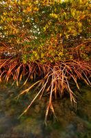 RED Mangrove print