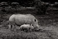 The Little Rhino print