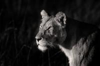 Alert Lioness print