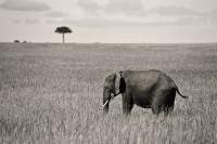 Masai Elephant print