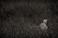 Masai Cheetah print