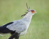 Secretary Bird print
