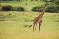 Masai Giraffe print