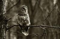 Radnor Owl print
