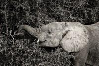 Samburu Elephant print