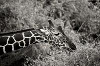 Browsing Giraffe print