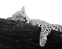 Lazy Leopard print