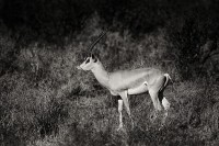 Grant's Gazelle print