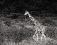 Samburu Giraffe print