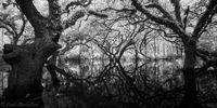 Flooded Fisheating Oaks print
