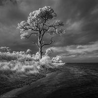 Pine on the Bay print