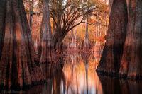 Autumn Cypress print