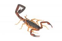 Florida Bark Scorpion print