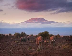 elephants, kilimanjaro, amboseli, sunrise, kenya, africa
