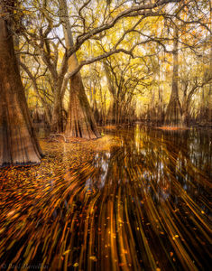 fall, leaves, cypress, suwannee, north florida, florida, nature, photography