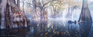 cypress, fog, fall, swamp, florida, nature, photography