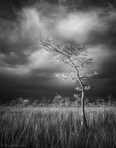 Everglades National Park, Florida, cypress