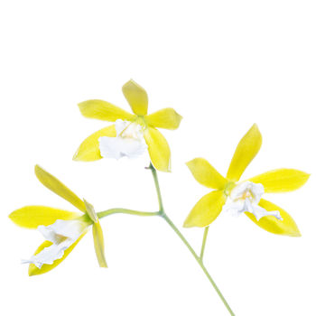 flower, tropical, flora, encyclia