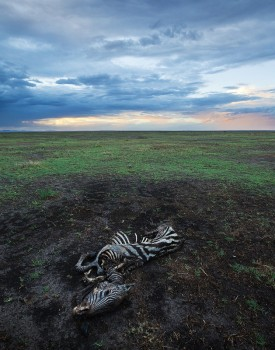 zebra, dead, amboseli, kenya, africa