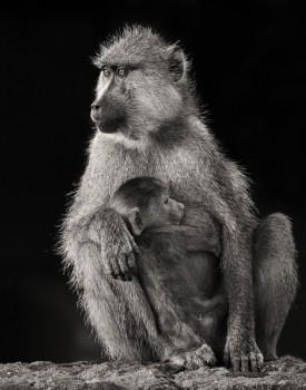 Papio cynocephalus, yellow baboon, amboseli, kenya, africa