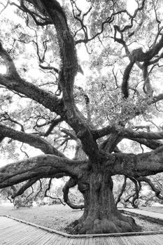 treaty oak, Jacksonville, florida, nature, photography