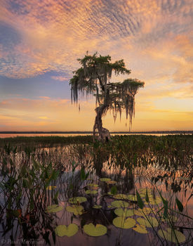Osceola National Forest, Florida, sunset, lake, cypress, nature, photography