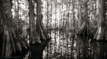 gator hook strang, Big Cypress National Preserve, Florida, nature, photography