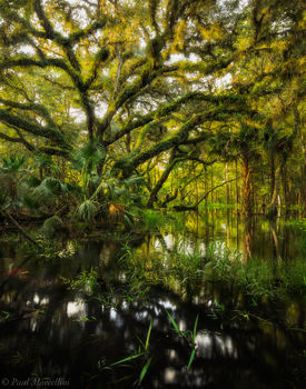 fisheating creek, oak, flood, florida, nature, photography