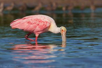 Platalea ajaja, roseate spoonbill, everglades, florida bay
