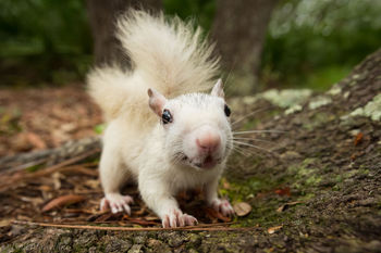 Sciurus carolinensis, white squirrel, Ochlockonee River State Park, Florida