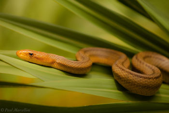 Elaphe obsoleta rossalleni, yellow rat snake, chicken snake, everglades national park