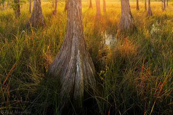 cypress, Big Cypress National Preserve, Florida, nature, photography