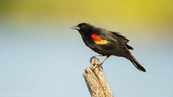 Agelaius phoeniceus, Ohio Key National Wildlife Refuge, Florida Keys, Florida, red-winged blackbird
