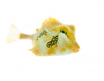 Lactophrys trigonus, buffalo trunkfish, florida, key biscayne