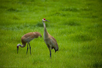 Sandhill Crane, Grus canadensis, hillsborough county, florida, hillsborough