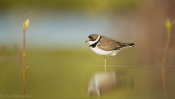 Ohio Key National Wildlife Refuge, Charadrius semipalmatus, florida keys, florida, semipalmated plover
