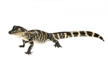 American Alligator Hatchling