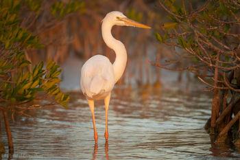 Ardea herodias occidentalis, great white heron, great white heron national wildlife refuge, florida