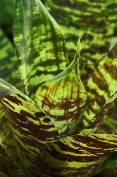 vriesea ospinae, bromeliad