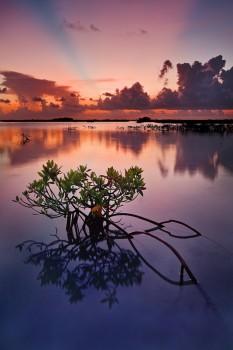 sunset, florida, keys, saddlebunch, red mangrove, Rhizophora mangle, florida keys, south florida, nature, photography