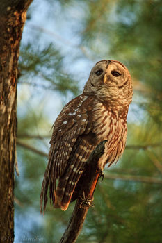 barred owl, strix varia, everglades national park, florida