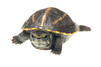 Kinosternon baurii,striped mud turtle