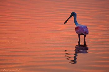 Ajaja ajaja, roseate spoonbill, sunset, ft desoto, fort desoto, desoto