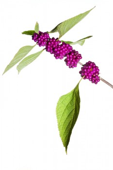 American Beautyberry, Callicarpa americana, miami, florida