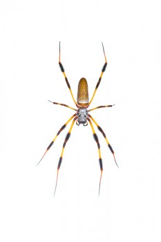 Golden Silk Orb Weaver, Nephila clavipes