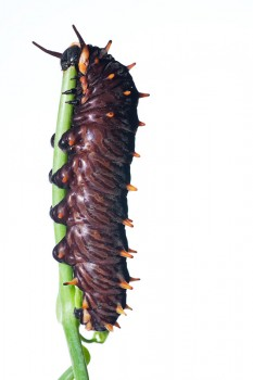 Battus polydamas lucayus, Polydamas, Butterfly, Caterpillar, miami, florida