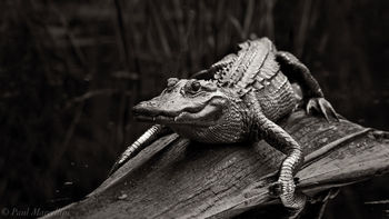 alligator, sun, log, Fakahatchee Strand Preserve State Park, Florida, fakahatchee
