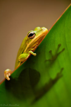 Hyla cinerea, green tree frog, frog, miami, florida