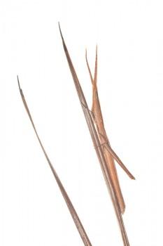 Long-headed Toothpick Grasshopper, Achurum carinatum, grasshopper
